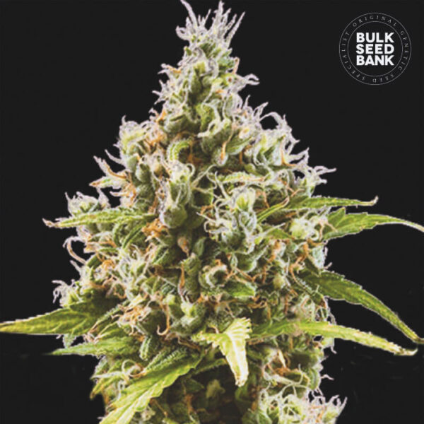 Bulk Seed Bank Autoflowering Cannabis Seeds - AUTO AMNESIA HAZE plant image.