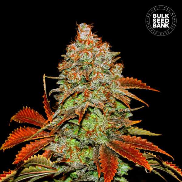 Image of the cannabis flower tree of the auto bubblegum variety.