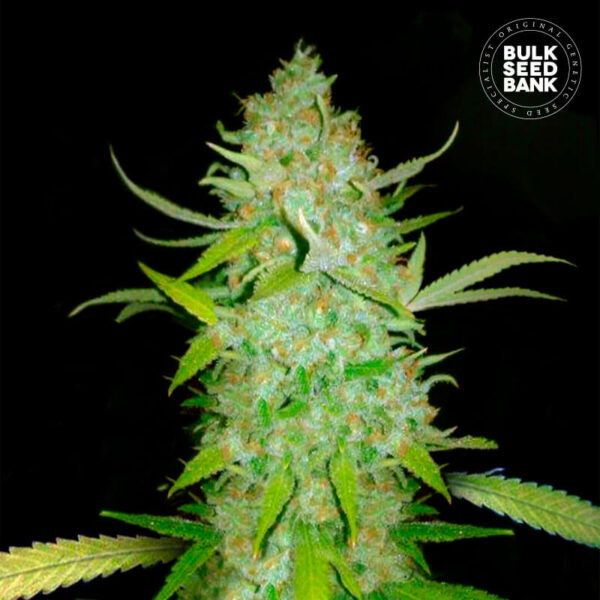Bulk Seed Bank | Autoflowering Cannabis Seeds plant photo.