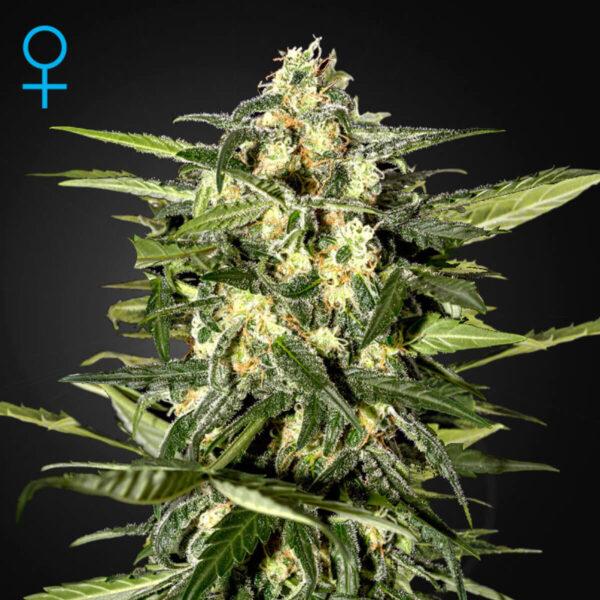 Green House Seeds Autoflowering Cannabis Seeds - Jack Herer Auto - 3pcs - flower photo