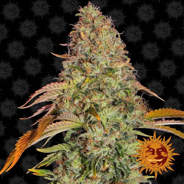 Barneys Farm - Autoflowering Cannabis Seeds - Zkittlez OG Auto - 3pcs - flower2
