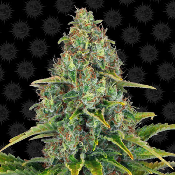 Barneys Farm - Autoflowering Cannabis Seeds - Blueberry Cheese Auto - 3pcs - plant - 1