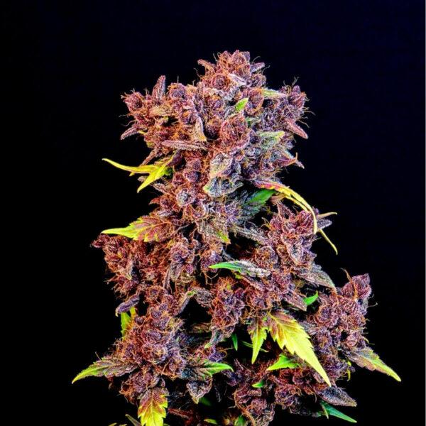 Fast Buds - Autoflowering Cannabis Seeds - Purple Lemonade Auto - 3pcs - pic - 1