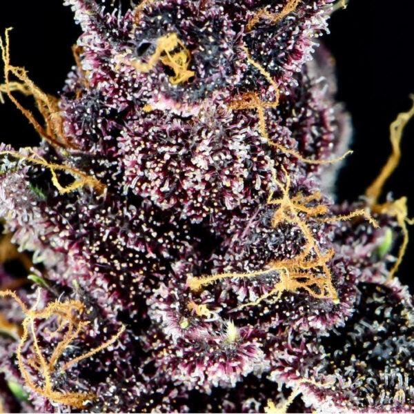 Fast Buds - Autoflowering Cannabis Seeds - Purple Lemonade Auto - 3pcs - plant2