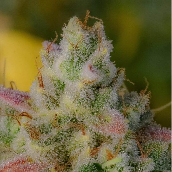 Fast Buds - Autoflowering Cannabis Seeds - Gelato Auto - 3pcs - zoom -Fast Buds - Autoflowering Cannabis Seeds - Gelato Auto - 3pcs - flower buds close up. pic2