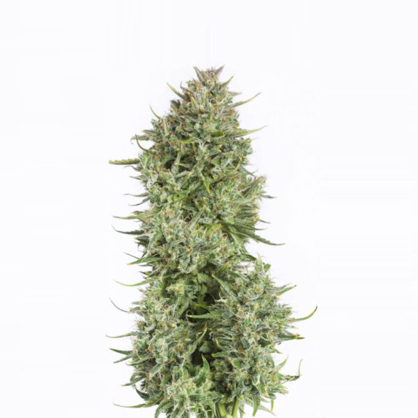 Dinafem Autoflowering Cannabis Seeds - Blue Kush Auto - 3pcs  - photography 1