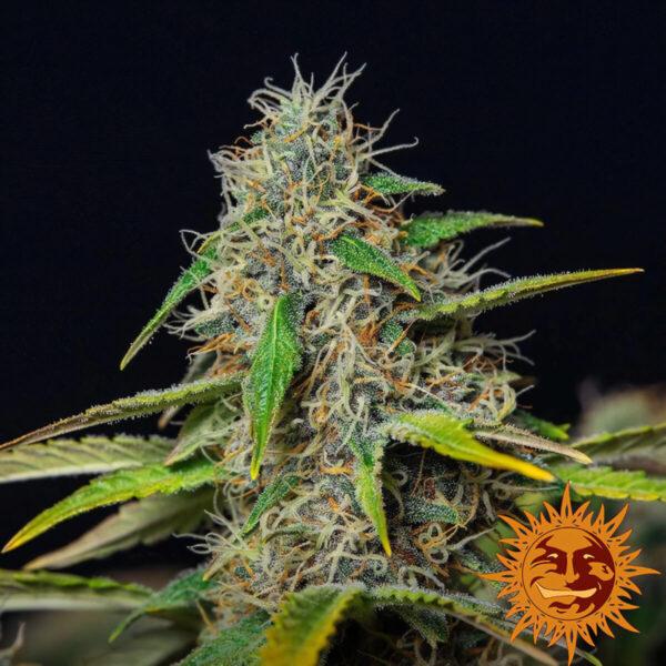 Barneys Farm - Autoflowering Cannabis Seeds - Purple Punch Auto - 3pcs - flower1