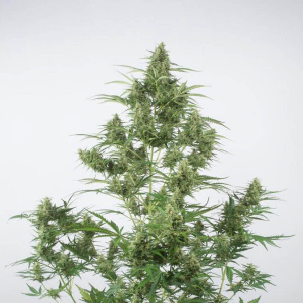 Dinafem Autoflowering Cannabis Seeds - Critical +2.0 Auto - 3pcs - photography - 2
