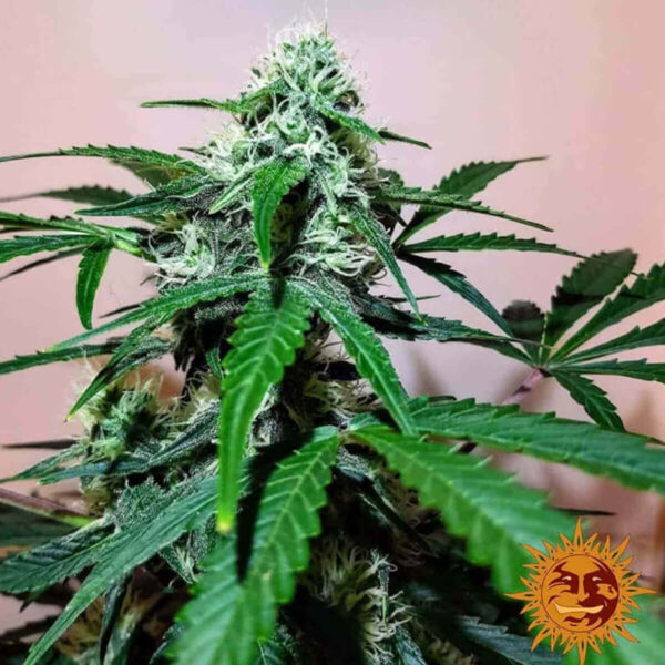 Barneys Farm - Autoflowering Cannabis Seeds - Zkittlez OG Auto - 3pcs - flower - 1