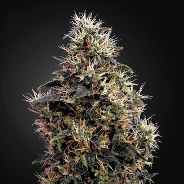 Green House Seeds | Autoflowering Cannabis Seeds – Sweet Mango Auto – 3pcs - buds photo