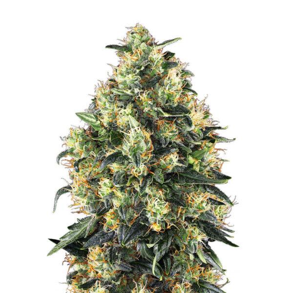 Sensi Seeds | Autoflowering Cannabis Seeds - Super Skunk Auto - 3pcs - plant photo - 3.