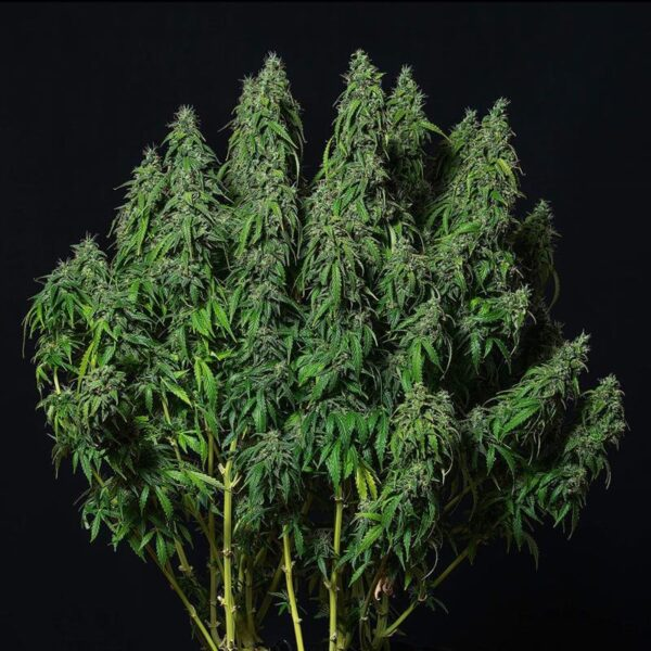 Buddha Seeds | Autoflowering Cannabis Seeds - Magnum Auto - 3pcs - buds photo