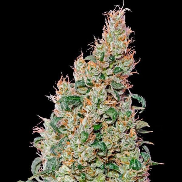 Green House Seeds | Αυτόματοι Σπόροι Κάνναβης - Green O Matic Auto - 3τεμ - φωτογραφία ανθών -2.