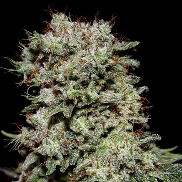 Green House Seeds | Autoflowering Cannabis Seeds - Kalashnikova Auto - 3pcs - buds photo.