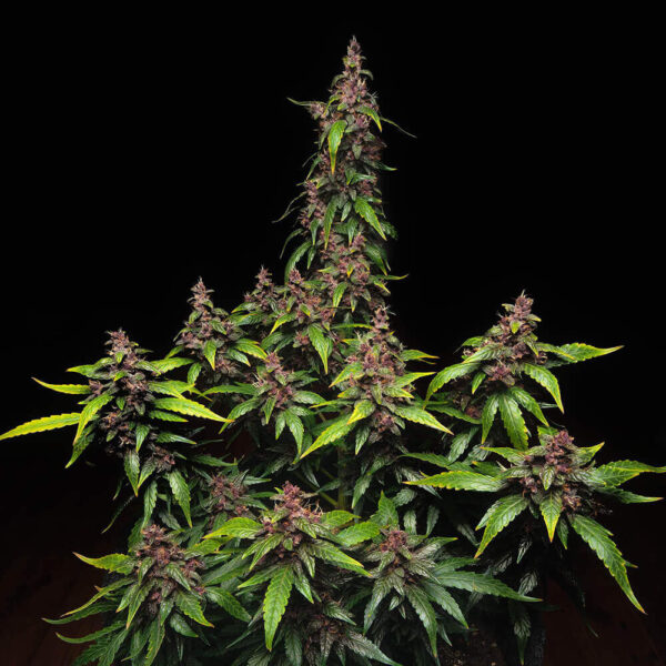 Buddha Seeds | Αυτόματοι Σπόροι Κάνναβης - Purple Kush Auto - 3τεμ - κοντινή φωτογραφία φυτού