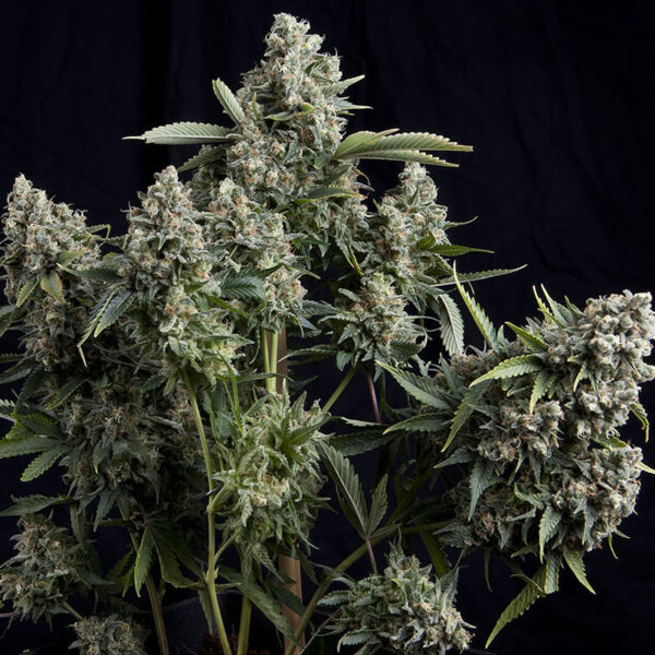 Pyramid Seeds | Feminized Cannabis Seeds - Tutankhamon - 3+1pcs - buds photo