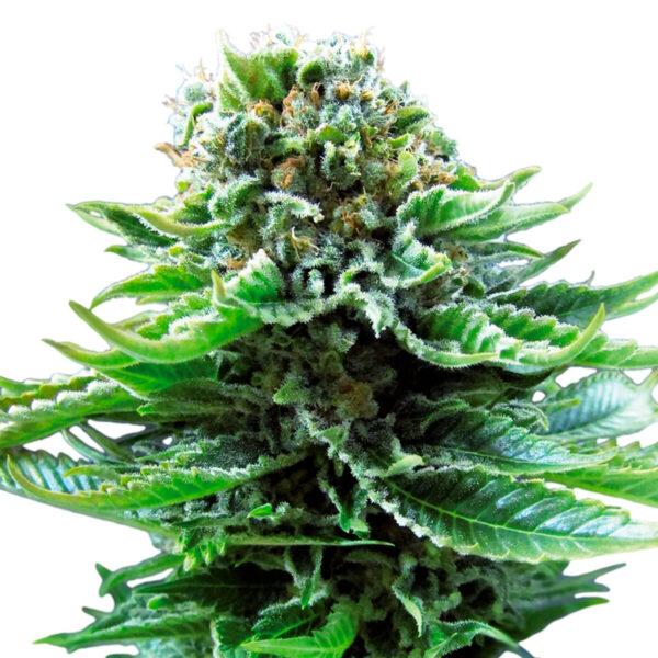 Sensi Seeds | Autoflowering Cannabis Seeds - Northern Lights Auto - 3pcs - plant photo